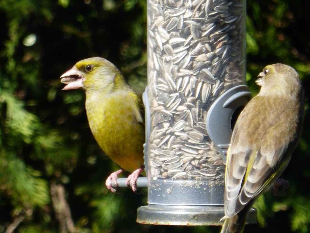 Greenfinch feeding on sunflower seeds