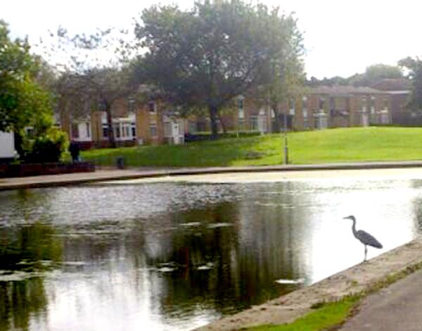 Heron Visits West Park