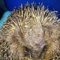 Protecting Hedgehogs