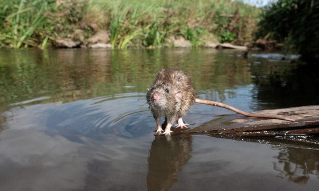 Tips to Prevent Rats Taking Hold in Floods