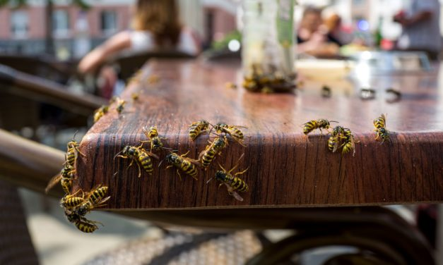 Watch out for Wasps as Temperatures Rise